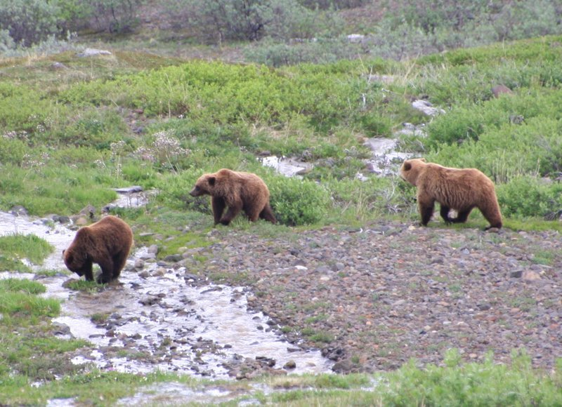 Grizzly bears Alaska