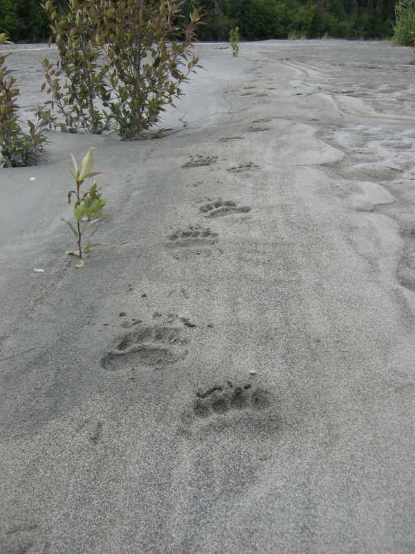 Bear tracks on Alaskan river