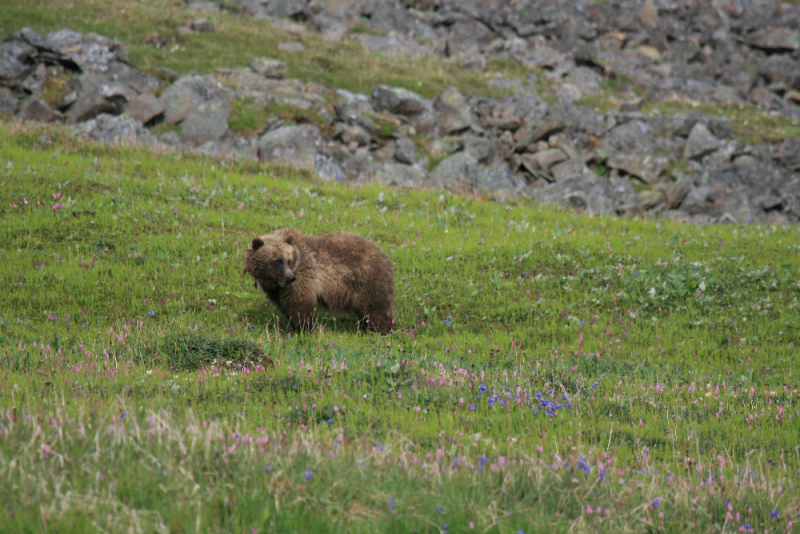 Grizzly Bear in Wrangells