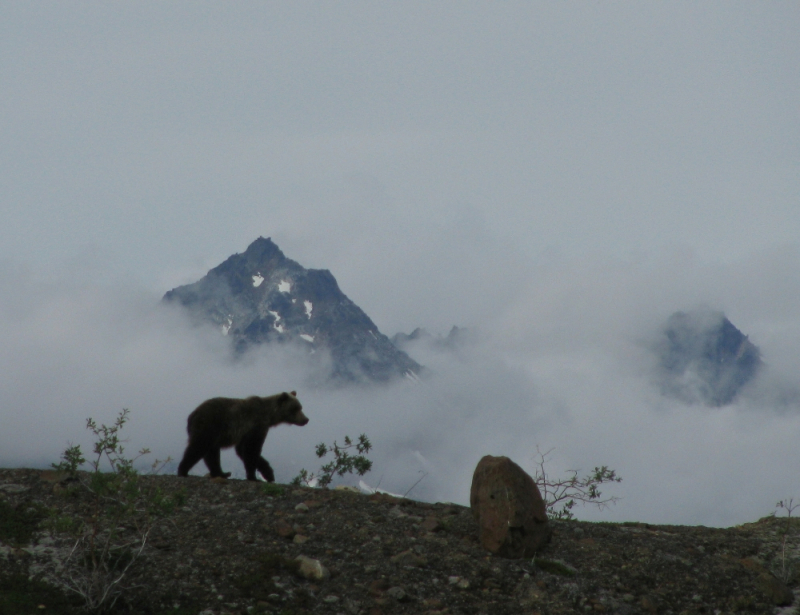 Grizzly Bear Alaska