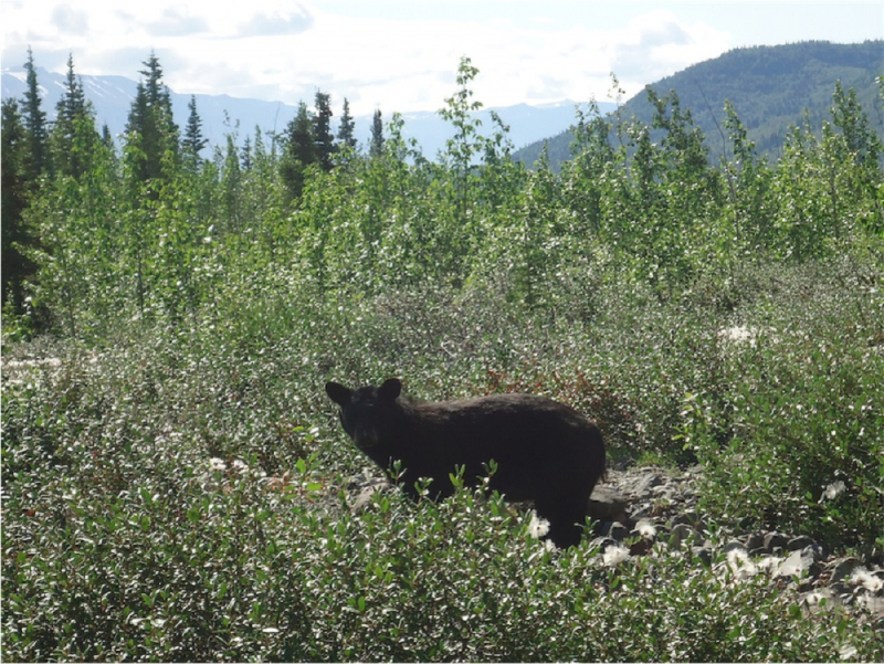 alaska black bear by glacier