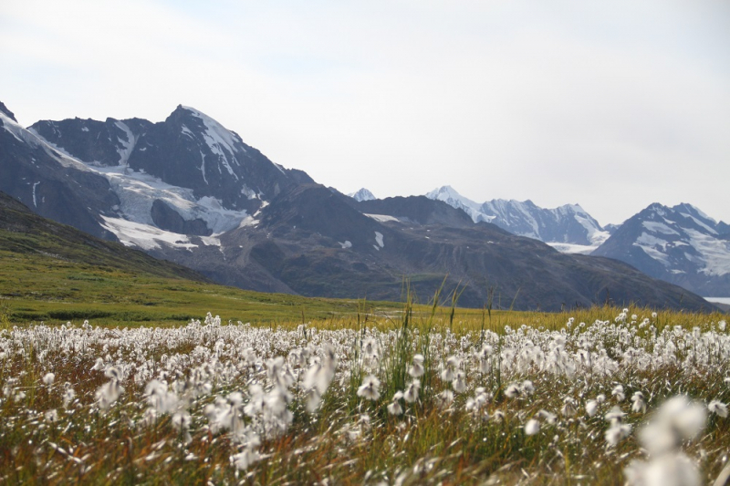 Chugach mountain wildflowers
