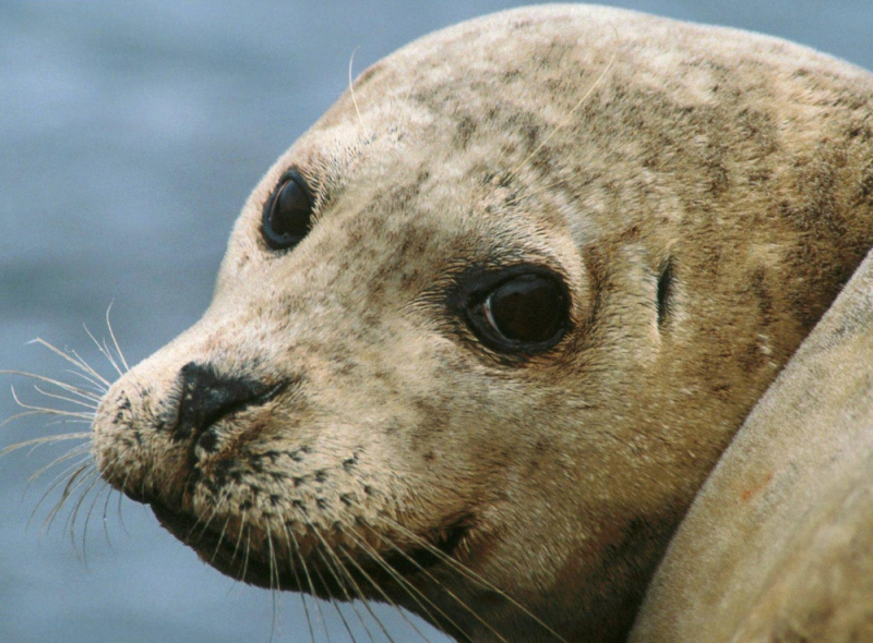 Alaska Harbor Seal