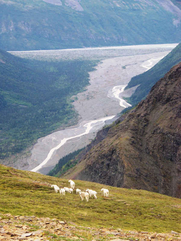 Goats above Chitistone River