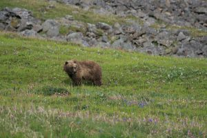 grizzly bear in tundra